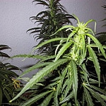 cannabis photo